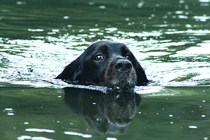 """Bow, a Gordon Setter, takes a swim in Penns Creek on a hot summer day,"" by Bruce Ferster, Lewisburg"