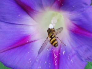 """Bee Meets Morning Glory,"" by Gail Bieber, Watsontown"